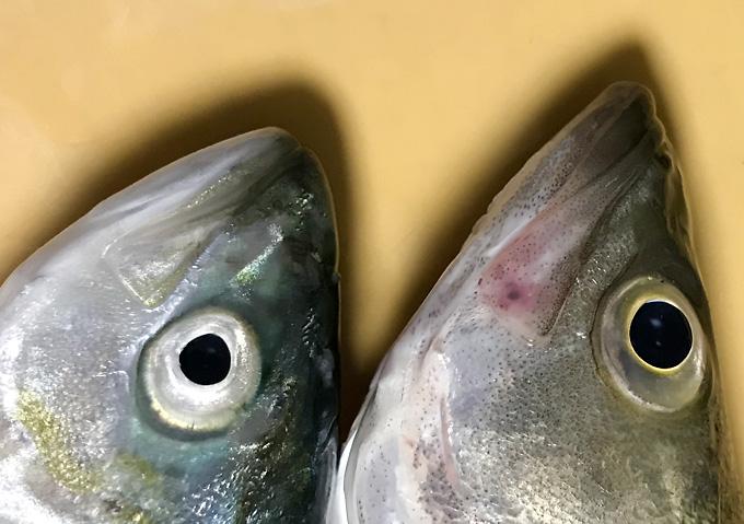ショアジギング/シーバス、ワカシ(九十九里浜で釣り)
