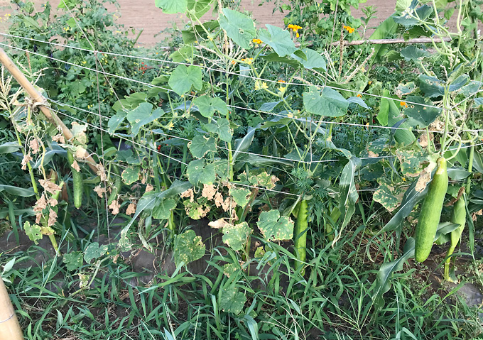 自然農法:夏野菜(8月)キュウリとトウモロコシ混植