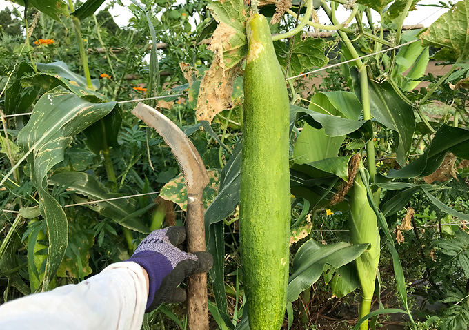 自然農法:夏野菜(8月)キュウリ巨大