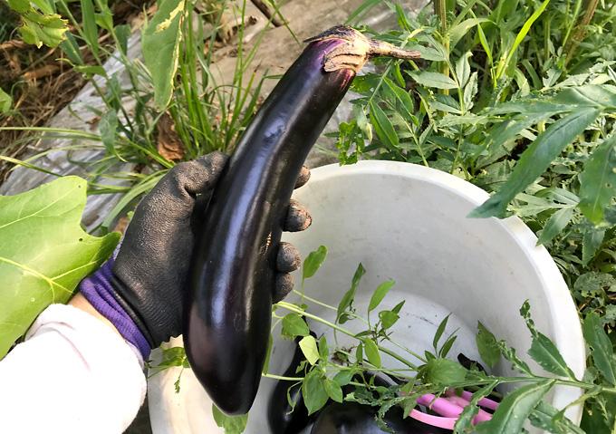 自然農法:夏野菜(8月)なす