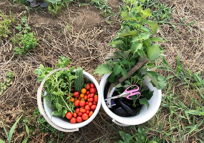 自然農法:夏野菜(8月)トマト