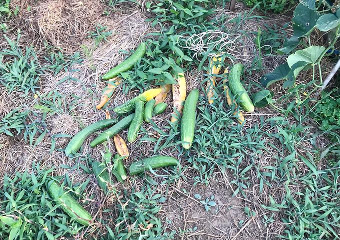 自然農法:夏野菜(8月)キュウリ