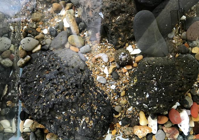 イソガニとエビの共存/イソガニ飼育/水槽レイアウト掃除