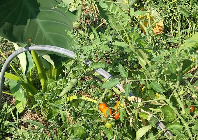 自然栽培ミニトマト・里芋と混植