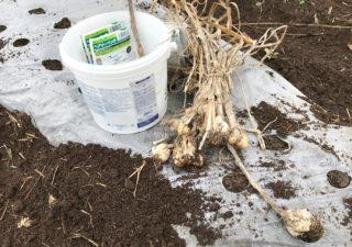 【ニンニク/植付け】今年も自家採種したにんにくを植付けます!