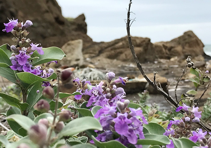 【浜辺の花】ハマゴウ/ハーブ千葉県千倉の磯浜
