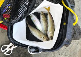 【釣り/外房】10月・秋の地磯で良型アジ三昧なカゴ釣りを満喫。