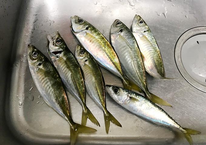 【釣り/外房地磯・アジ】カゴ釣りの釣果