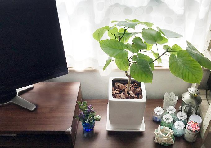 【ウンベラータ】室内リビングに合う観葉植物