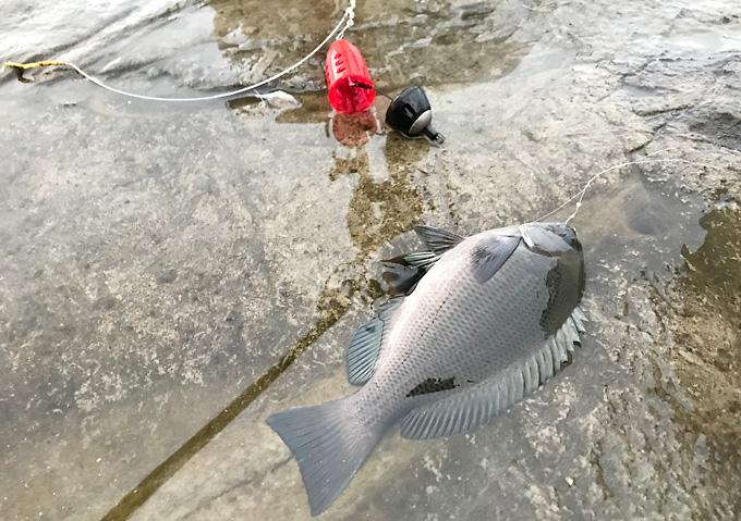 【外房/カゴ釣り】釣果・勝浦鴨川の海釣り(メジナ)