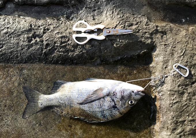 【外房/釣り】釣果・勝浦鴨川の海釣り(クロダイ)ストリンガーの使い方