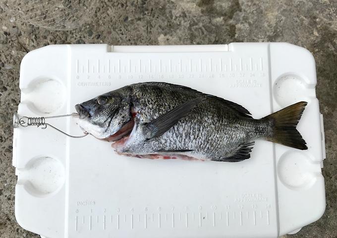 【外房/釣り】釣果・勝浦鴨川の海釣り(クロダイ)