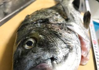 【釣り/外房】10月・40cmオーバーのクロダイを引き抜いてしまった私。