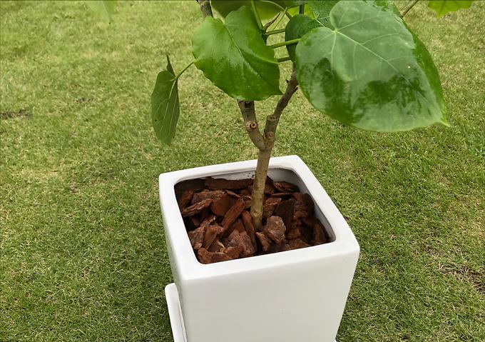 【栽培/ウンベラータ】ウッドチップで綺麗に。観葉植物・育て方