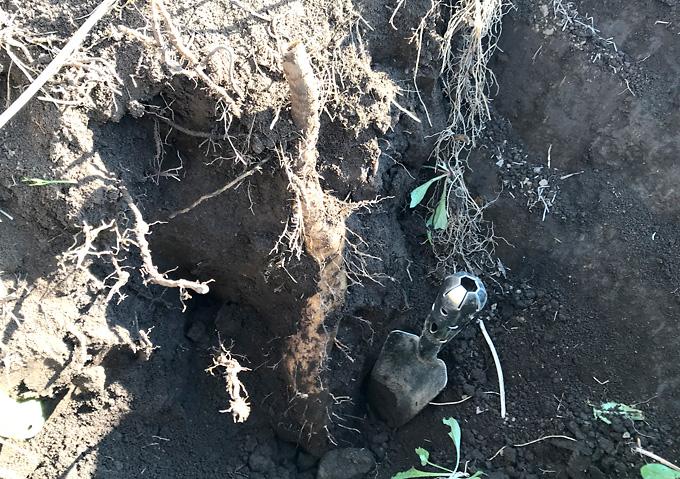 【山芋/自然薯】カサブランカの株元にムカゴがポロポロ収穫