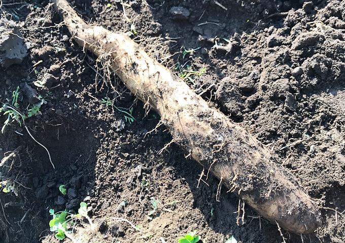 【山芋/自然薯】収穫