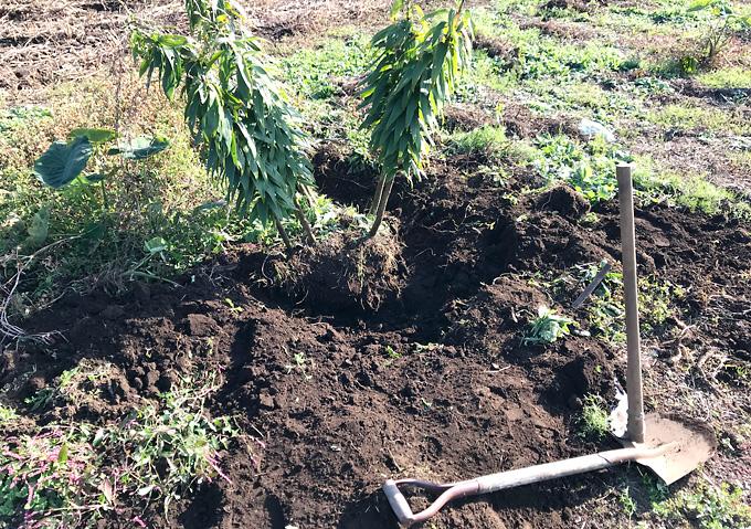 (スコップ)カサブランカの球根を掘り起こす