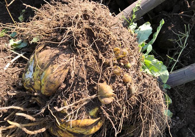 (株上げ)5年目・カサブランカの球根を掘り起こして分球