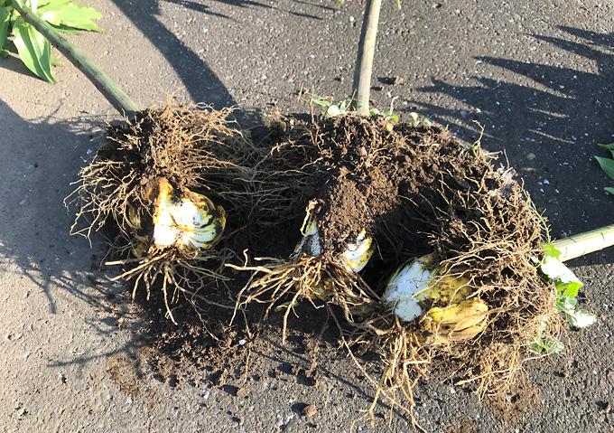 (球根を割る)カサブランカの球根を掘り起こして分球