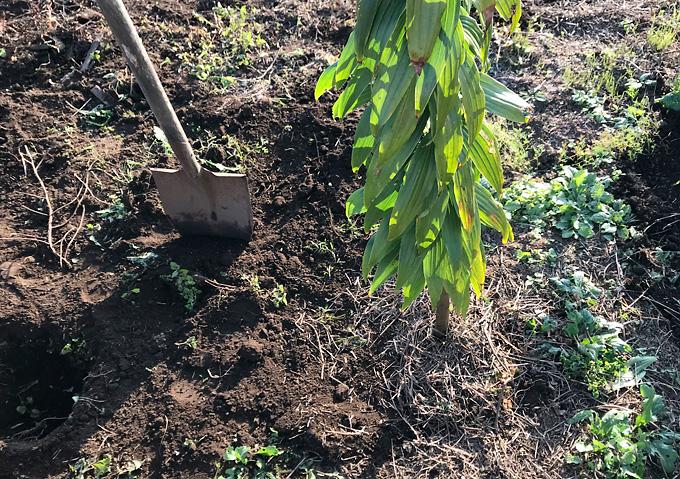 (植え付け)カサブランカの球根を掘り起こす