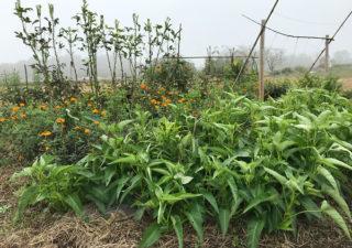 【ショウガ/収穫】混植NG…モリモリと茂る空芯菜に覆い尽くされ惨敗!