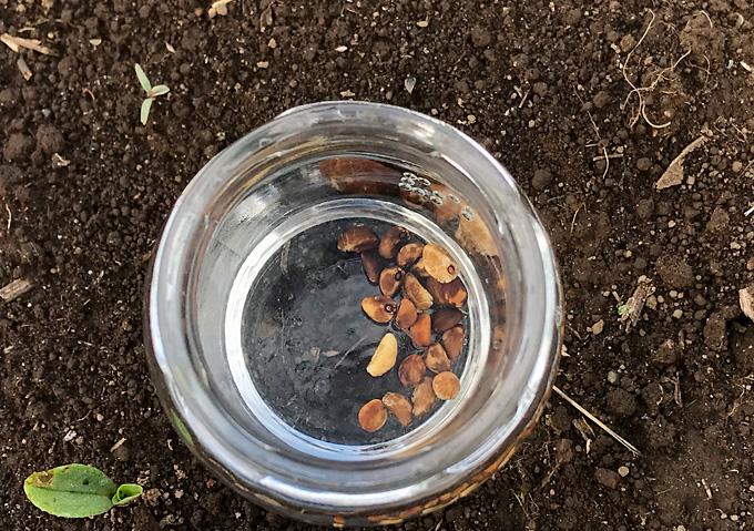 【混植】生姜と空芯菜(種まき〜発芽)植え方