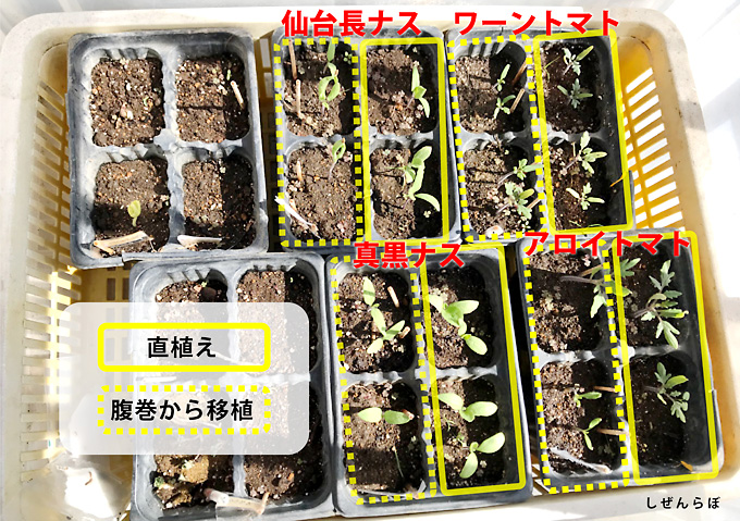 【種まき/ワーントマト・アロイトマト】簡易温室栽培(衣装ケース)と腹巻(体温)発芽日数比較