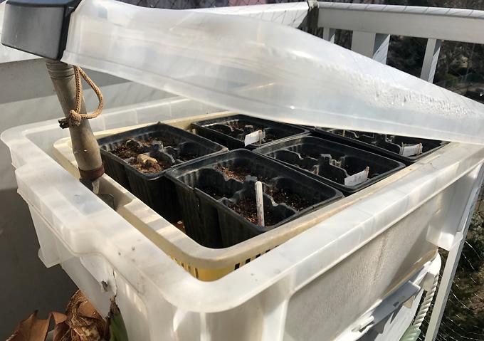 【種まき/ワーントマト・アロイトマト】温室栽培(衣装ケース)と腹巻(体温)発芽日数比較