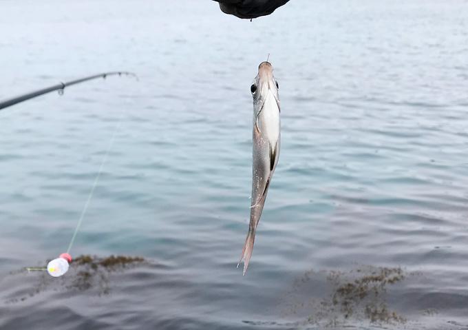 【アジ釣り/外房】堤防からカゴ仕掛けで良型釣果(鴨川・勝浦)