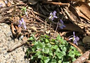【鋸山/山野草】春の花(スミレ)