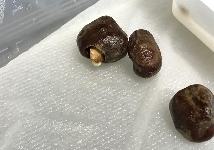 【栽培育苗方法】発芽前のマルーラの種に異変。2箇所穴が開く。