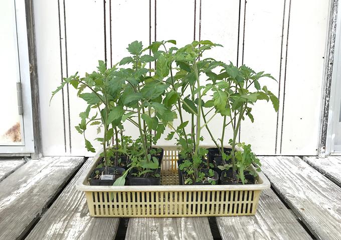 【トマト/植付け】アロイトマトとワーントマトの寝かせ植え栽培用に下葉をスッキリ