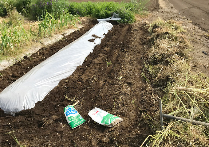 【トマト/畝作り】高畝横に緑肥(セスバニアとエン麦)/アロイトマト(F1桃太郎)