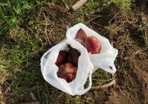 【芽出し/シルクスイート】大丈夫?さつまいも種芋の植付け(紅あずま)