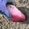 【芽出し/サツマイモ】昨年収穫した残り芋から植付け用のツルを生やします