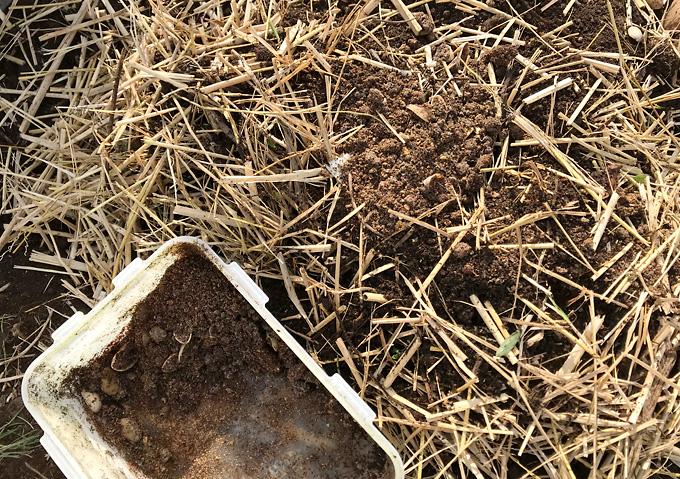 【芽出し/シルクスイート】肥料/さつまいも種芋の植付け(紅あずま)
