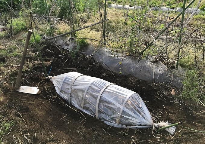 【芽出し/シルクスイート】トンネルの作り方/さつまいも種芋の植付け(紅あずま)