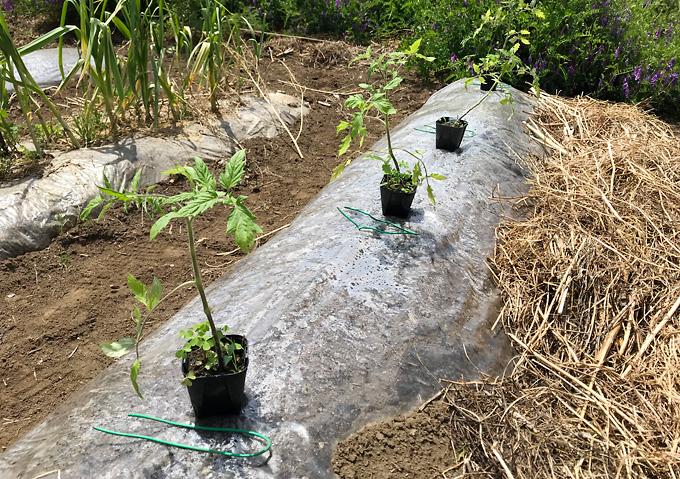 【寝かせ植えトマト栽培(植付け)】透明マルチ高畝準備/アロイトマトとワーントマト