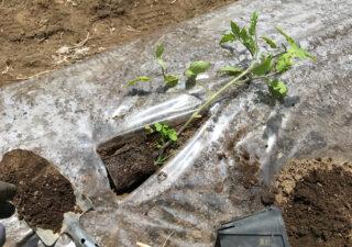 【栽培/トマト】寝かせ植えの手順。茎から発根させて丈夫に育てて長期収穫。