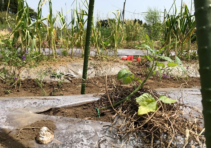 【寝かせ植えトマト栽培(植付け)】針金で押さえ込み一本!透明マルチ高畝準備/アロイトマトとワーントマト