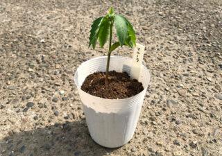 【育苗/マルーラ】魅惑の果実がついに芽を出した!種から栽培〜育苗