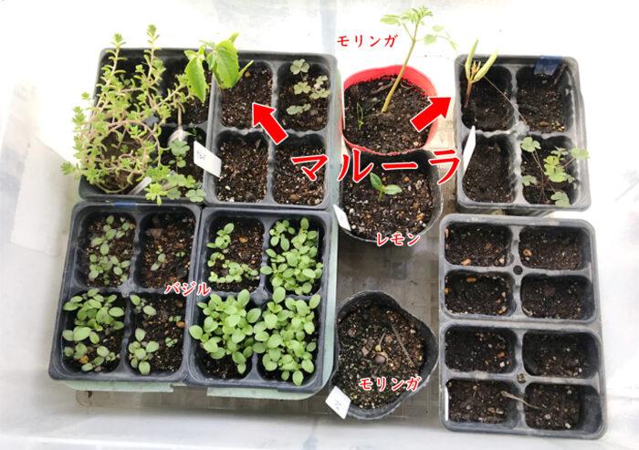 【温室栽培】マルーラの種が発芽した。育苗方法:冬。育苗編(モリンガ・レモン・バジル)