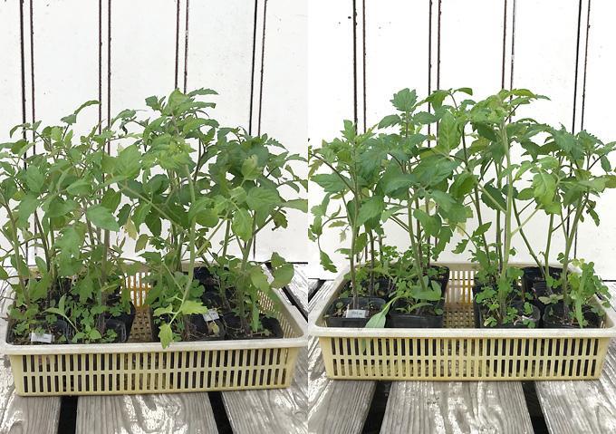 【寝かせ植えトマト栽培】ベランダ育苗/アロイトマトとワーントマト