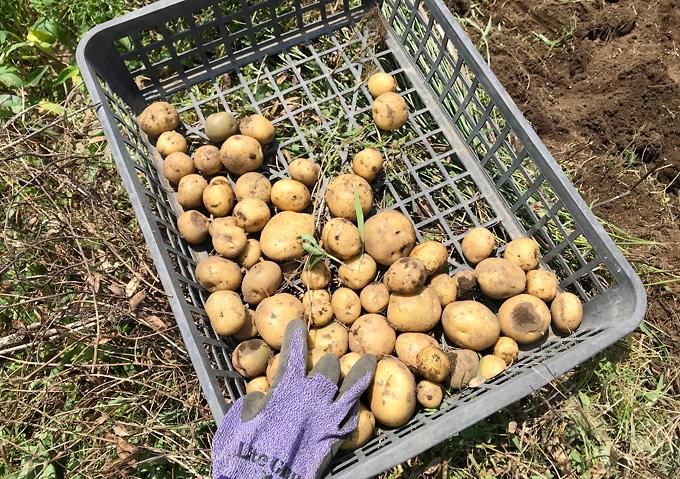 【ジャガイモの収穫】新月収穫するとに水々しくジューシー