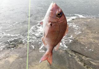 【外房/釣り】7月・梅雨の磯でカゴ五目釣り。真鯛に大アジ、カマス、グレ