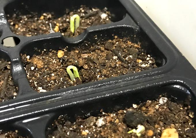 【家庭菜園/きゅうり】ときわ地這えと四葉(スーヨー)の種まき〜発芽