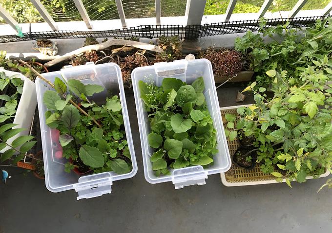 きゅうり・トマト・ナスの芽出し/ベランダ家庭菜園