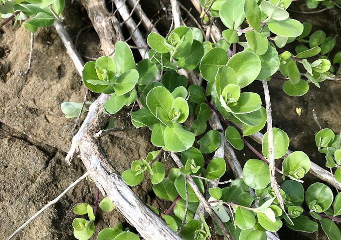 南房総の自生ハマゴウ(4月)採取・挿し木(海浜の植物)