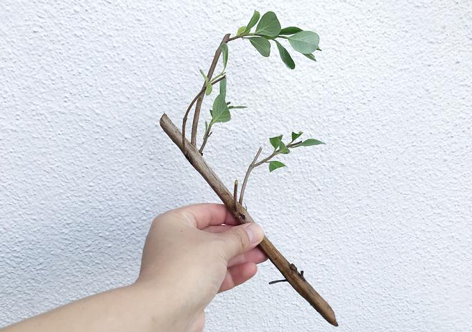 ハマゴウ(4月)採取・挿し木・発根(海浜の植物)