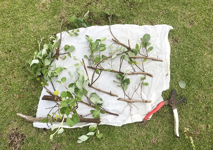 ハマゴウ(4月)挿し木・発根_方法(海浜の植物)